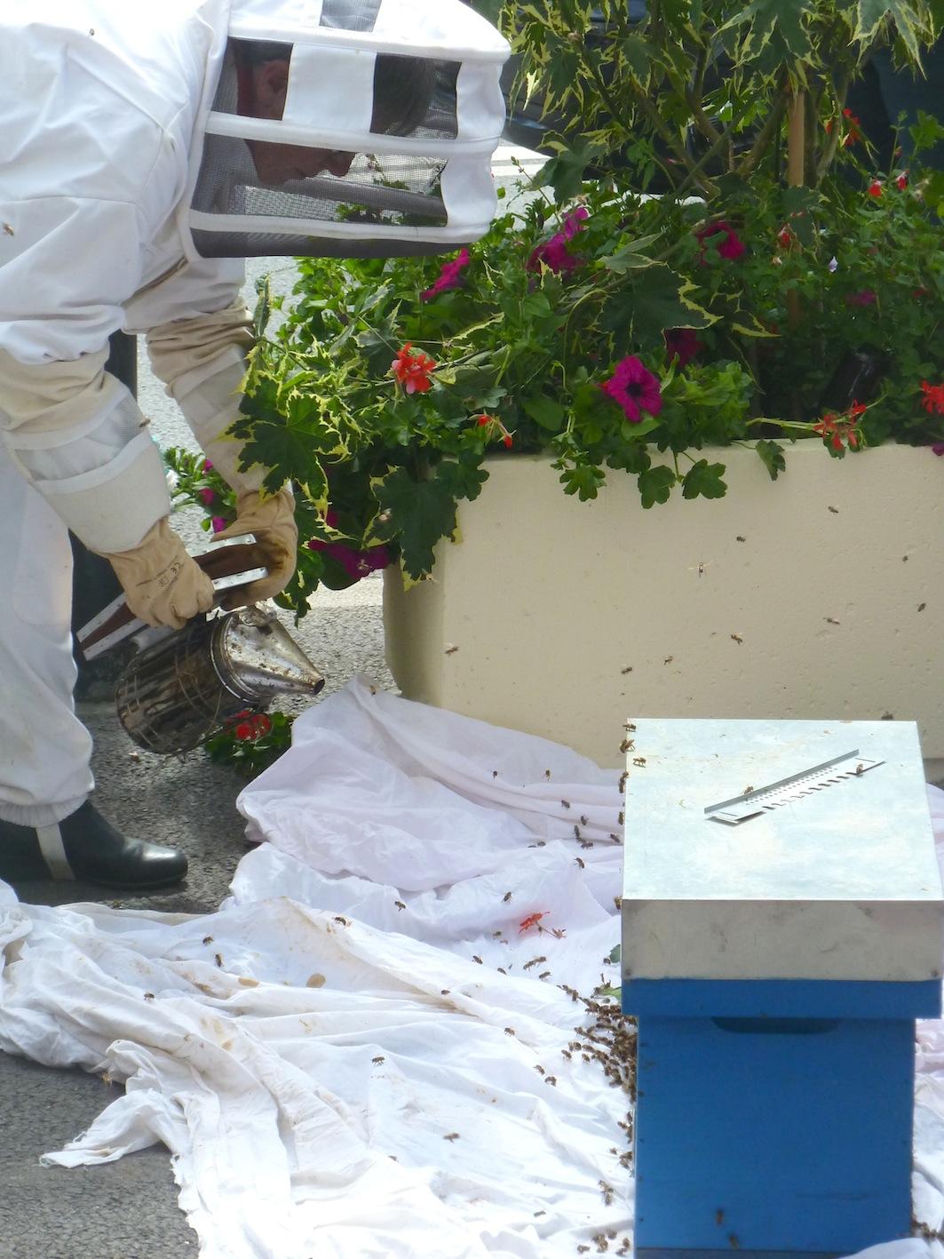 Apiculteur en train de récolter un essaim d'abeilles